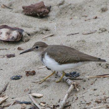 Actitis macularius (Drosseluferläufer) - Costa Rica