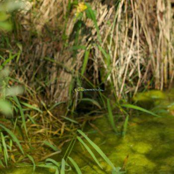 Aeshna cyanea (Blaugrüne Mosaikjungfer)