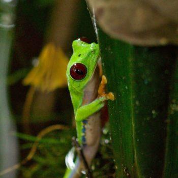 Amphibia (Amphibien, Lurche) - Costa Rica 2018