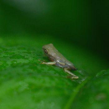 Agalychnis callidryas (Rotaugenlaubfrosch)
