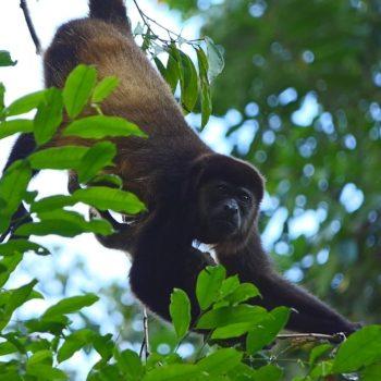 Alouatta palliata (Mantelbrüllaffe) - Costa Rica