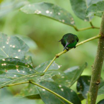 Amazilia saucerottei (Stahlgrüne Amazilie)