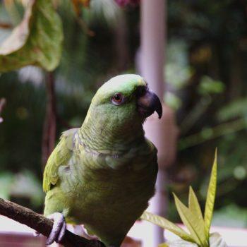Amazona auropalliata (Gelbnackenpapagei) - Costa Rica