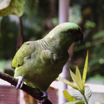Amazona auropalliata (Gelbnackenpapagei)