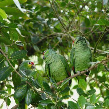Amazona autumnalis (Gelbwangenamazone)