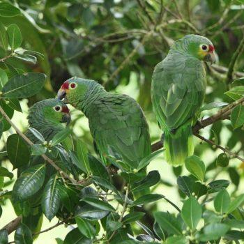 Amazona autumnalis (Gelbwangenamazone) - Costa Rica