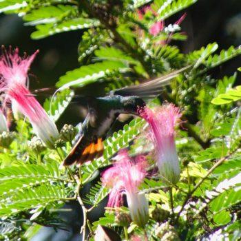 Anthracothorax prevostii (Grünbrust-Mangokolibri) - Costa Rica
