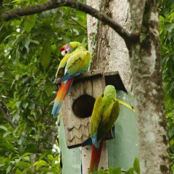 Ara ambiguus (Großer Soldatenara) - Costa Rica