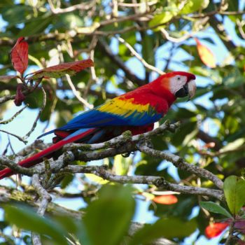 Ara macao (Hellroter Ara) - Costa Rica