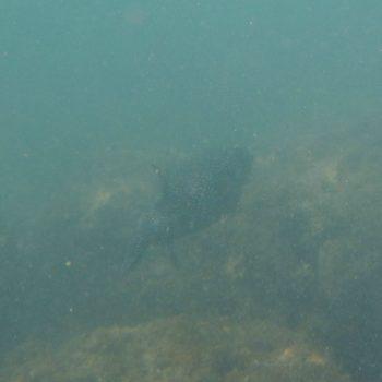 Arothron hispidus (Weißflecken-Kugelfisch) - Costa Rica