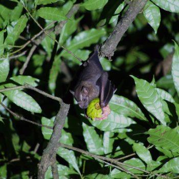 Artibeus jamaicensis (Jamaika-Fruchtfledermaus)