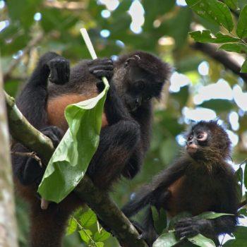 Primates (Primaten) - Costa Rica 2018