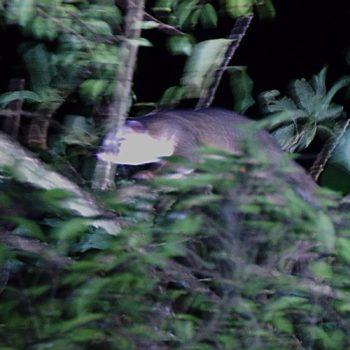 Bassaricyon gabbii (Mittelamerika-Makibär)