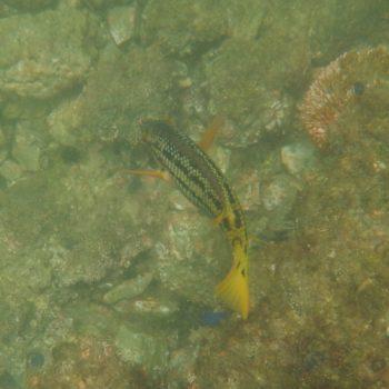 Bodianus diplotaenia (Mexikanischer Schweinslippfisch)