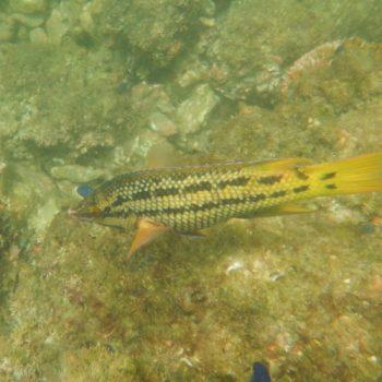Bodianus diplotaenia (Mexikanischer Schweinslippfisch) - Costa Rica