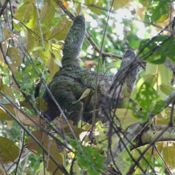 Bradypus variegatus (Braunkehl-Faultier)