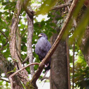 Buteogallus anthracinus (Krabbenbussard) - Costa Rica