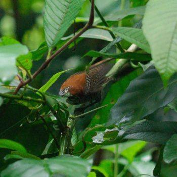 Cantorchilus semibadius (Riverside Wren)