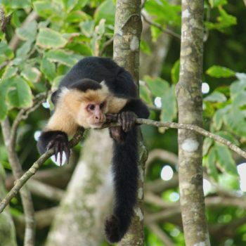 Cebus imitator (Panama-Kapuzineraffe) - Costa Rica