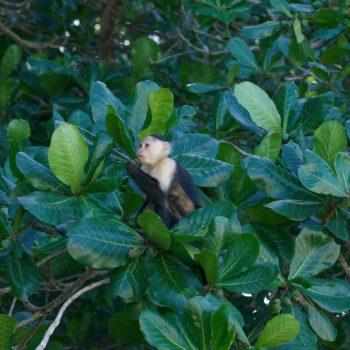 Cebus imitator (Panama-Kapuzineraffe)