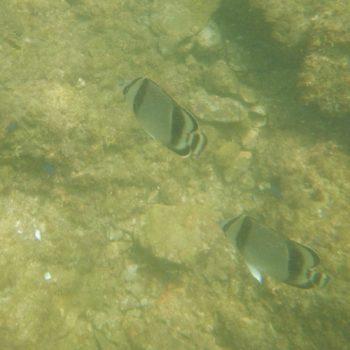 Chaetodon humeralis (Ostpazifik-Falterfisch)