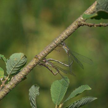 Chalcolestes viridis (Westliche Weidenjungfer)