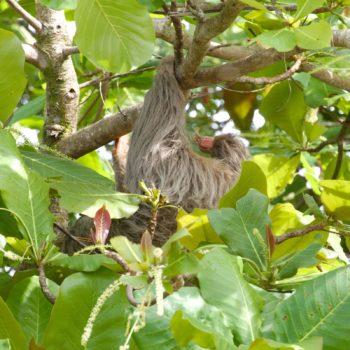 Choloepus hoffmanni (Hoffmann-Zweifingerfaultier)
