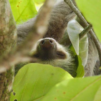 Mammalia (restliche Säugetiere) - Costa Rica 2018