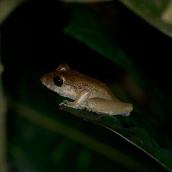 Craugastor sp. (Fleshbelly Frog)