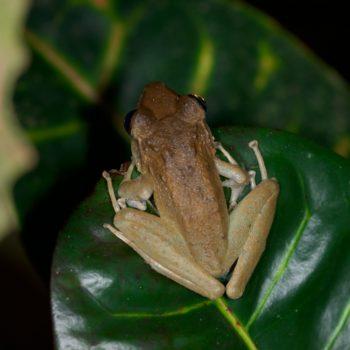Craugastor sp. (Fleshbelly Frog) - Costa Rica
