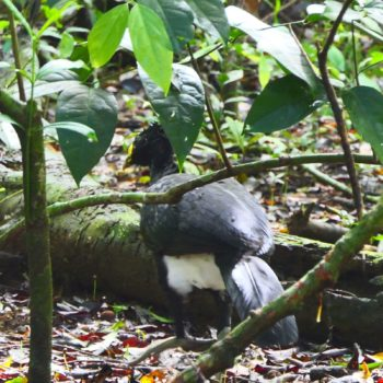 Crax rubra (Tuberkelhokko) - Costa Rica