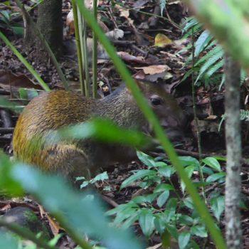 Dasyprocta punctata (Mittelamerikanisches Agouti)