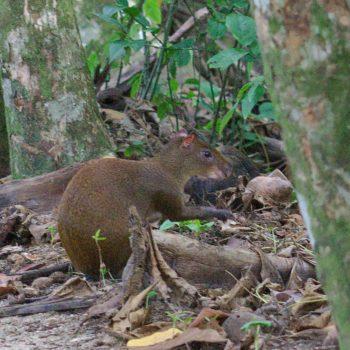 Dasyprocta punctata (Mittelamerikanisches Agouti) - Costa Rica