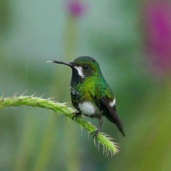 Discosura conversii (Grüne Fadenelfe) - Costa Rica