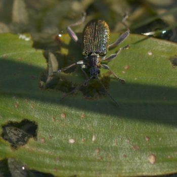 Donacia versicolorea (Blattkäfer)