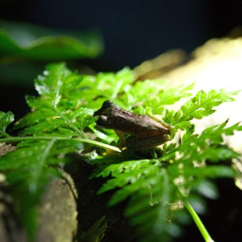 Duellmanohyla rufioculis (Rufous-eyed Brook Frog)