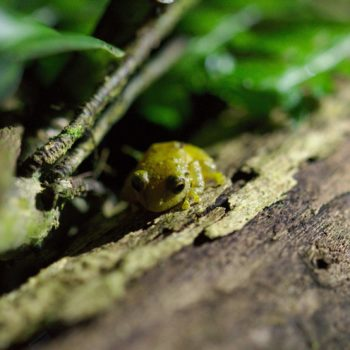 Eleutherodactylus sp. (Rain Frog)