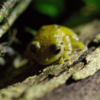 Eleutherodactylus sp. (Rain Frog) - Costa Rica