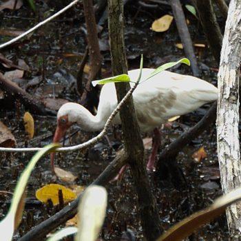 Eudocimus albus (Schneesichler) - Costa Rica