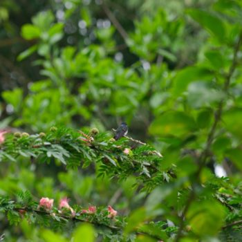 Florisuga mellivora (Weißnackenkolibri)