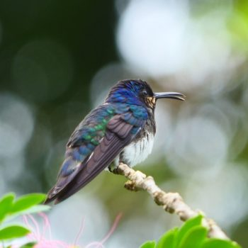 Florisuga mellivora (Weißnackenkolibri) - Costa Rica