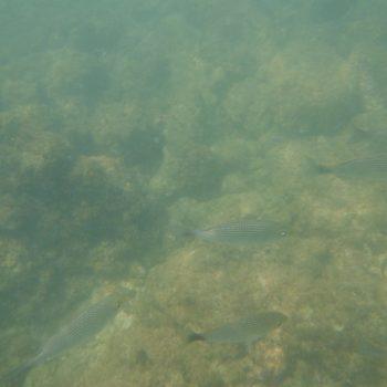 Haemulon maculicauda (Grunzer)