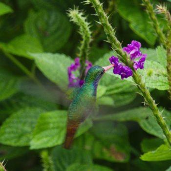 Hylocharis eliciae (Goldschwanz-Saphirkolibri) - Costa Rica