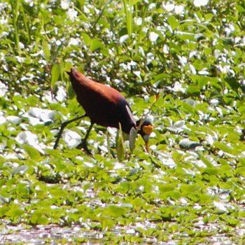 Jacana spinosa (Gelbstirn-Blatthühnchen) - Costa Rica