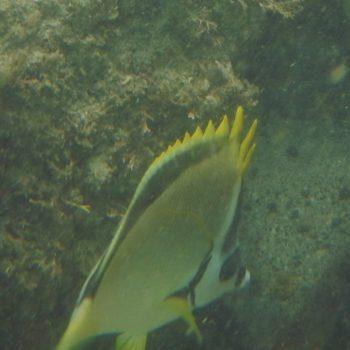 Johnrandallia nigrirostris (Barbier-Falterfisch) - Costa Rica