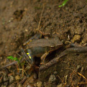 Lithobates warszewitschii (Brilliant Forest Frog)
