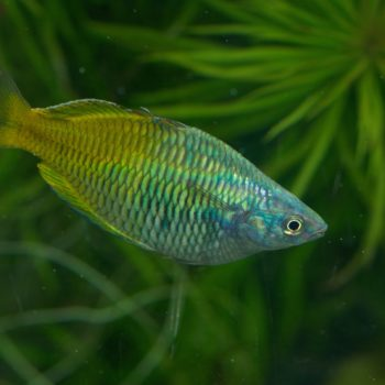 Melanotaenia boesemani (Harlekin-Regenbogenfisch)