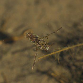 Notonecta sp. (Rückenschwimmer)