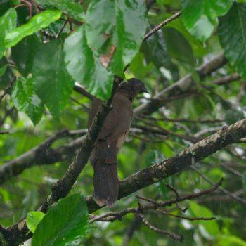 Ortalis cinereiceps (Graukopftschatschalaka) - Costa Rica