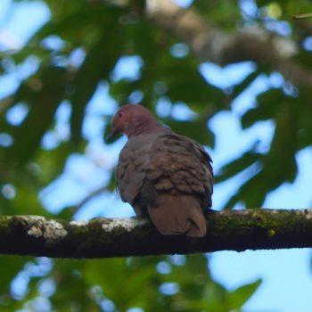 Patagioenas nigrirostris (Kurzschnabeltaube) - Costa Rica